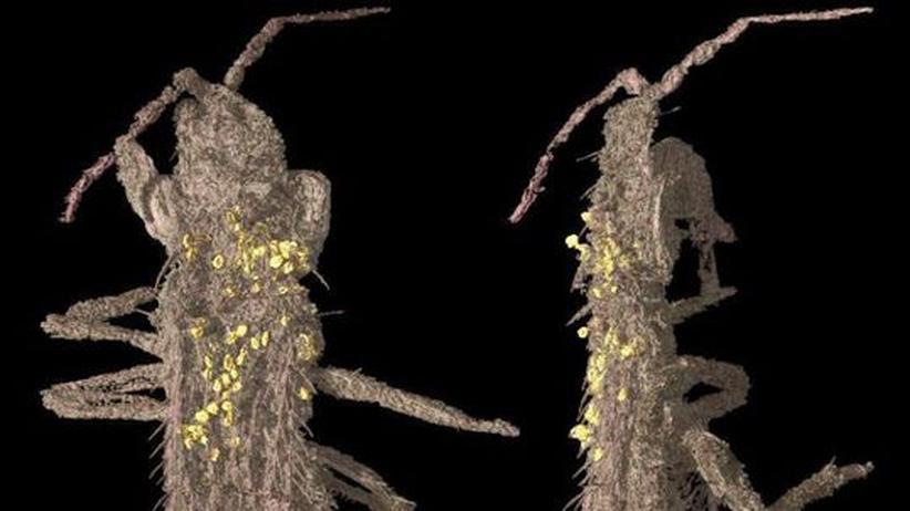 Synchrotronstrahlen Thripse Gewittertierchen