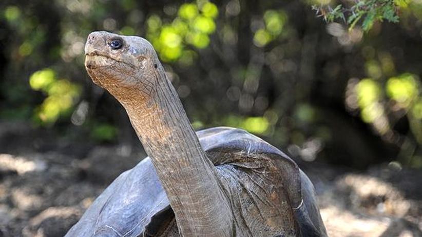 Lonesome George: Galapagos-Schildkröte doch nicht ausgestorben?