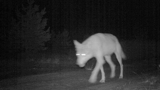 Ein Wolf (Canis lupus) tappt im Raum Sperenberg in eine Kamerafalle des WWF (Archiv).