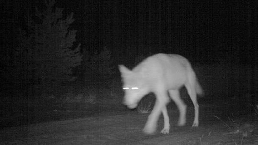 Mecklenburg-Vorpommern: CDU will Jagd auf Wölfe erlauben
