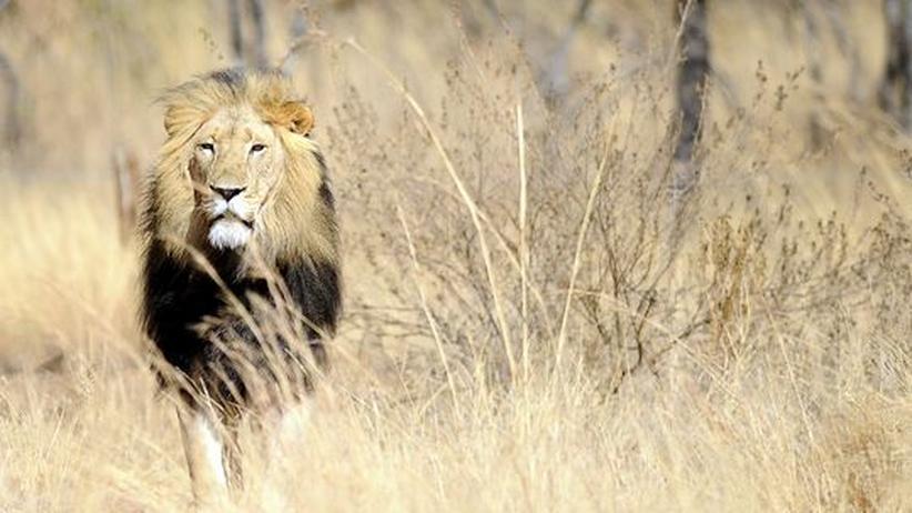 Aussterbende Löwen: Der König der Tiere verliert sein Reich
