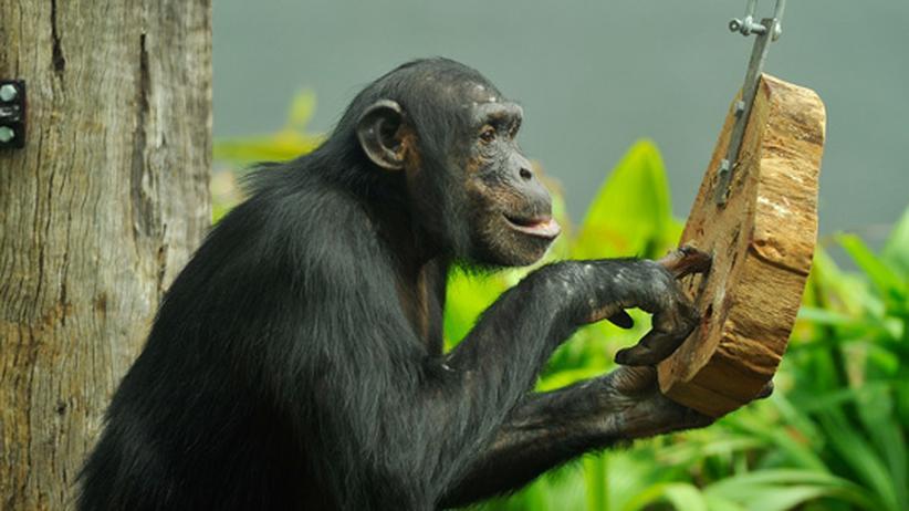 Verhaltensforschung: Der Schimpanse soll uns gefälligst ähnlich sein
