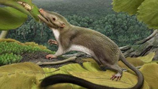 So stellt sich ein Künstler den Vorfahr aller heutigen Säugetiere vor, die weder Eier legen noch Beuteltiere sind. Das kleine Tierchen ernährte sich wohl vor mehr als 60 Millionen Jahren vor allem von Insekten.