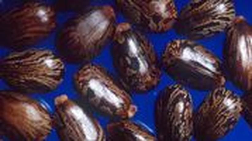 """Samenkerne des Rizinusstrauchs (""""Ricinnus communis""""). Sie enthalten bis zu zwei Prozent des giftigen Eiweißes Rizin. Schon geringe Mengen davon sind für den Menschen tödlich."""