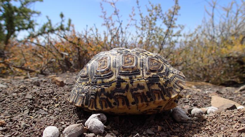 Junge Pantherschildkröte (Stigmochelys pardalis)