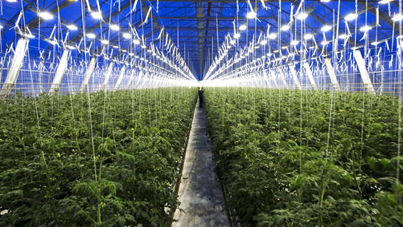 Mit Erde sind die meisten Tomaten, die wir essen, nie in Berührung gekommen. Das Gemüse wird fast ausschließlich in Gewächshäusern angebaut, wie hier in Nordschweden.