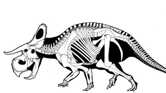 Nasutoceratops titusi Dinosaurier Skelett Zeichnung