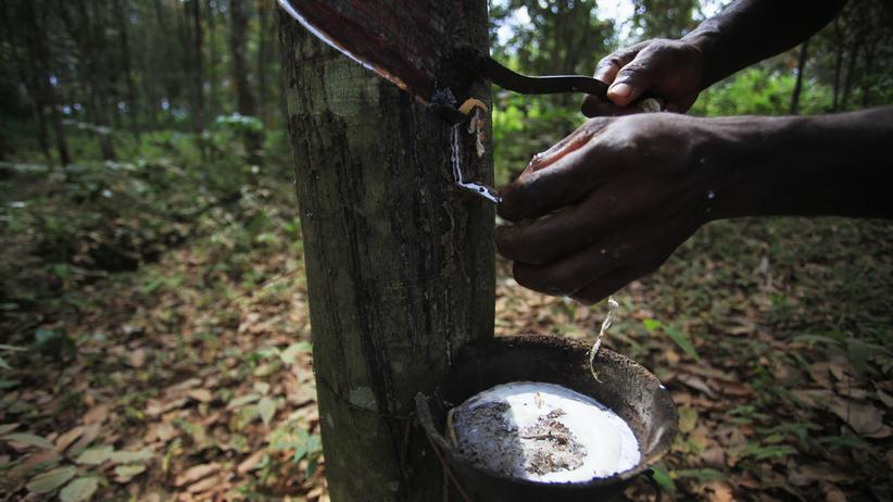 Pilzbefall: Ein Mann zapft einen Kautschuk-Baum an.