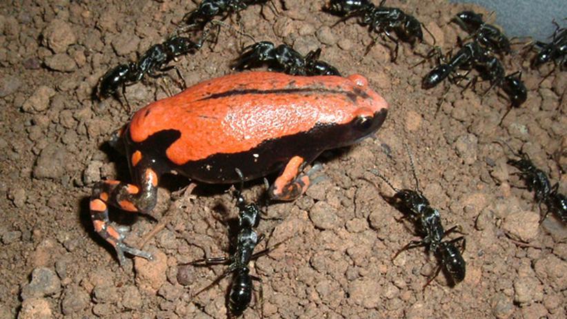 Verhaltensbiologie: Der Frosch, der alte Charmeur