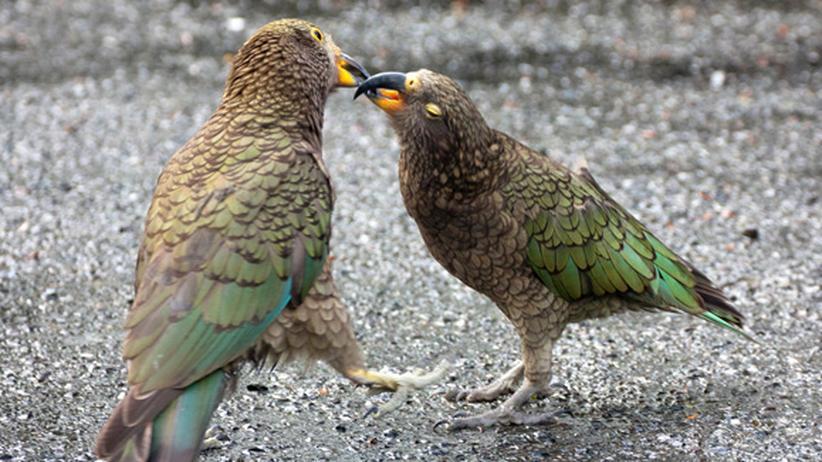 Spieltrieb bei Tieren: Keas sind die echten Spaßvögel