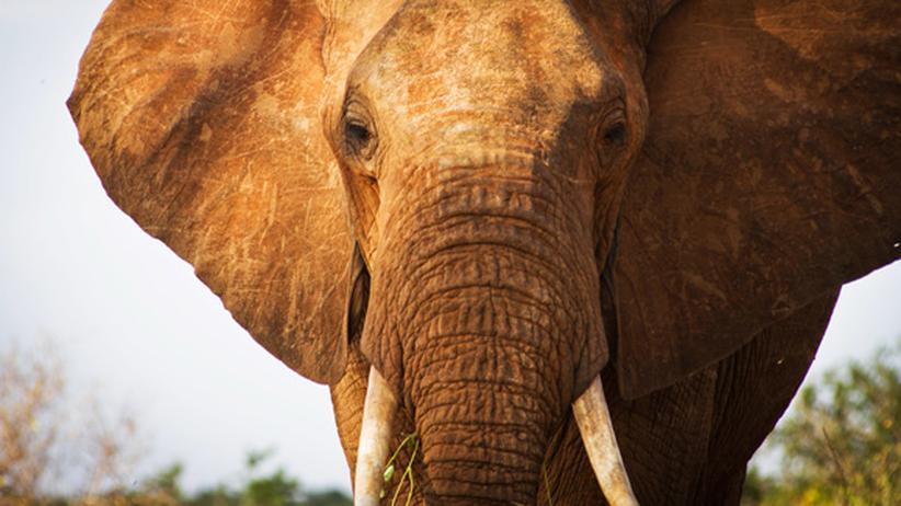 Wilderei: Ein Waldelefant in der kenianischen Natur