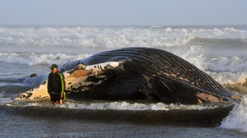 Biologie: Wenn der Wal explodiert
