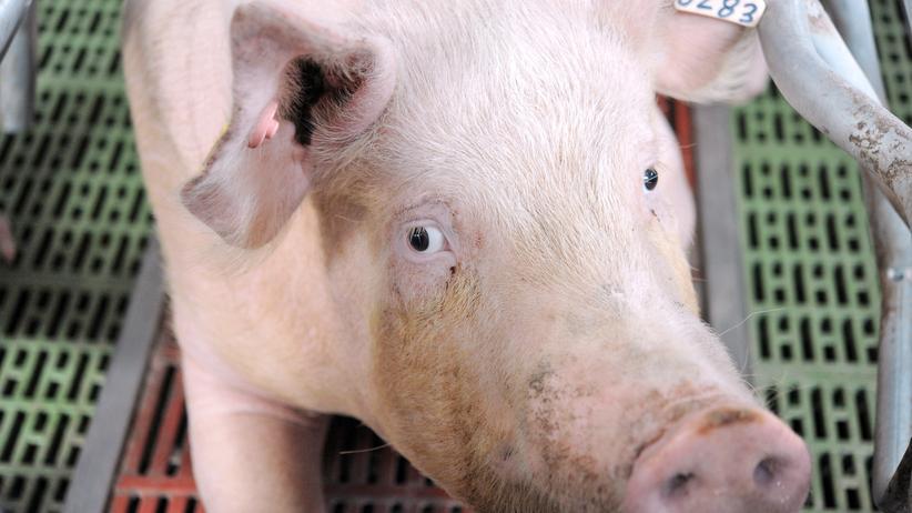 """Tierethik: """"Für ein Schinkenbrot werden Tiere eingesperrt und verstümmelt"""""""