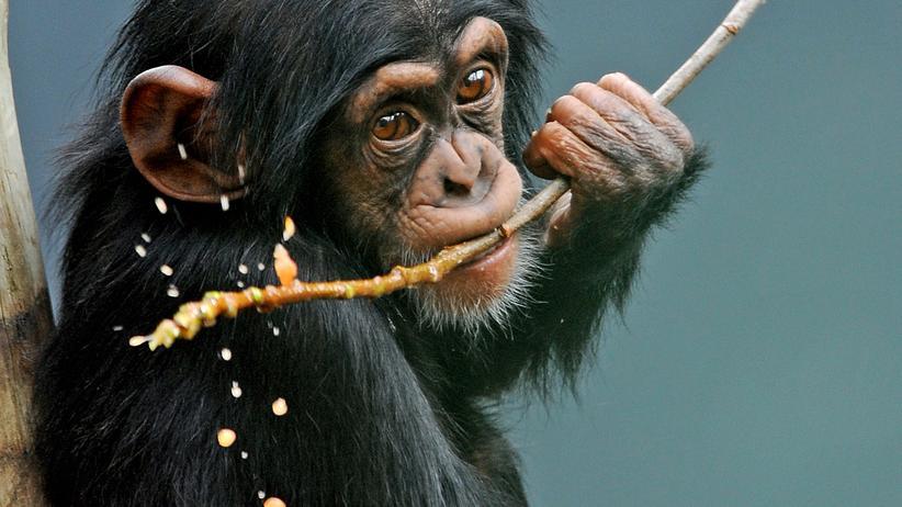 Tierethik Schimpanse Affen Tierversuche