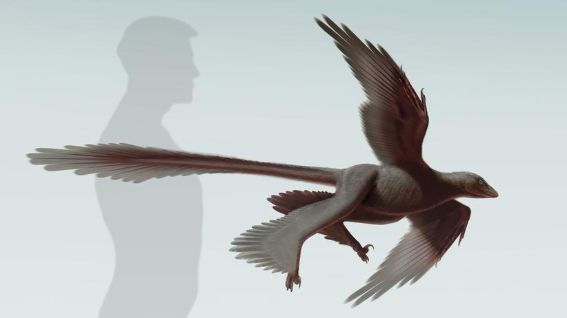 Paläontologie: Eine Visualisierung des Changyuraptor yangi, in Größenrelation zum Menschen