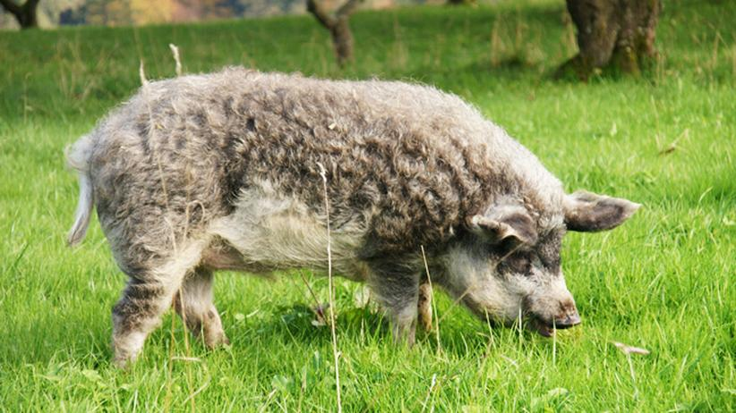 Landwirtschaft: Wer das Wollschwein retten will, der muss es essen