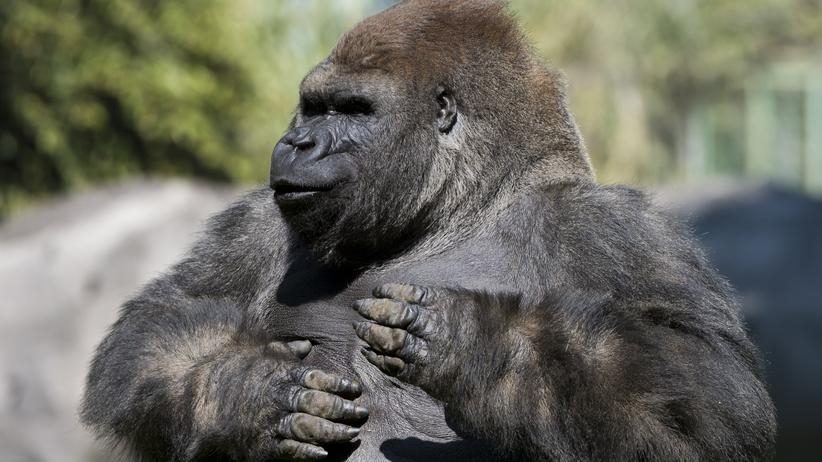 Psychologie: Kein Mensch will ein Gorilla sein. Ich schon.