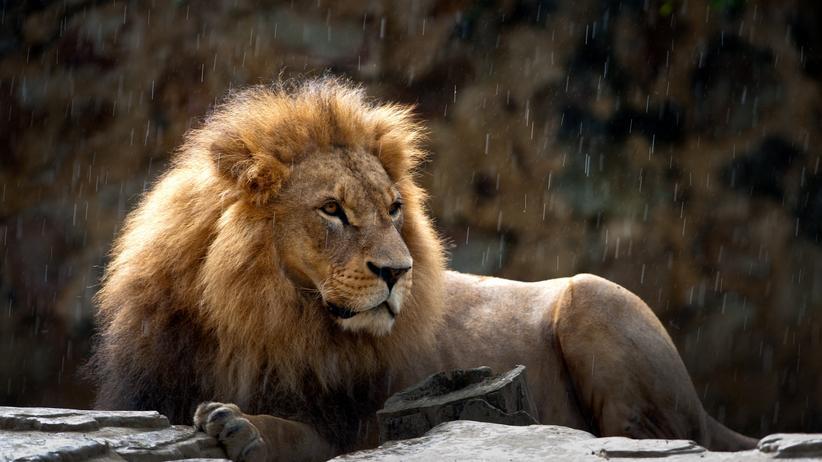 Anführer: Der Alpha-Löwe regiert seine Gefolgschaft allein und ihn interessiert auch nicht, dass zwei Chefs mitunter besser führen können. Bei Menschen bringt die Gewaltenverteilung jedoch Vorteile.