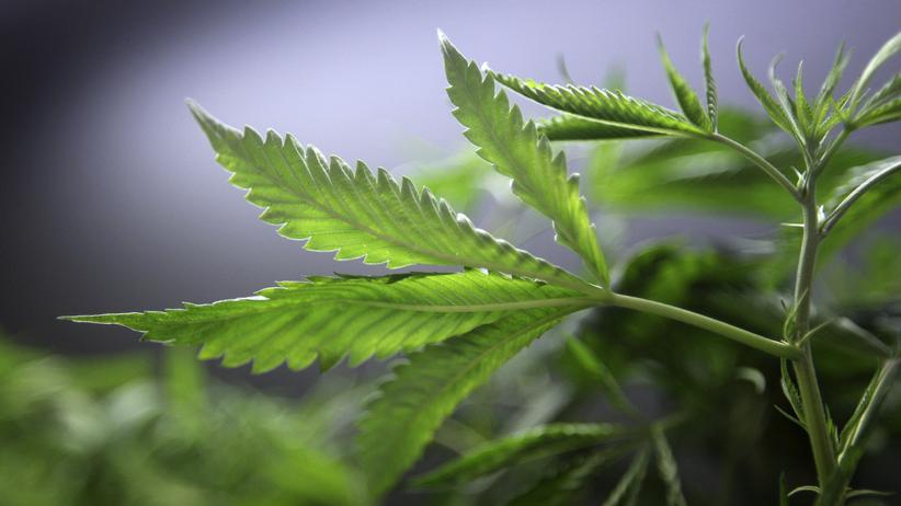 Cannabispflanze in einem Gewächshaus