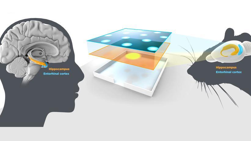 Nobelpreis für Medizin: Wie funktioniert unser inneres GPS? Die diesjährigen Medizinnobelpreisträger haben es herausgefunden. Bestimmte Zellen im Hirn von Mensch und Nagetieren speichern und verarbeiten die nötigen Informationen.