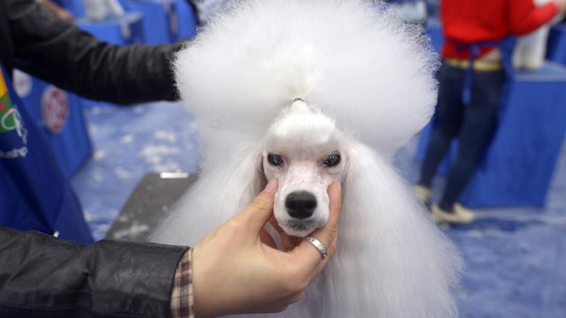 Haustiere: Ein Hund wird für ein Haustier-Festival in China zurechtgemacht.