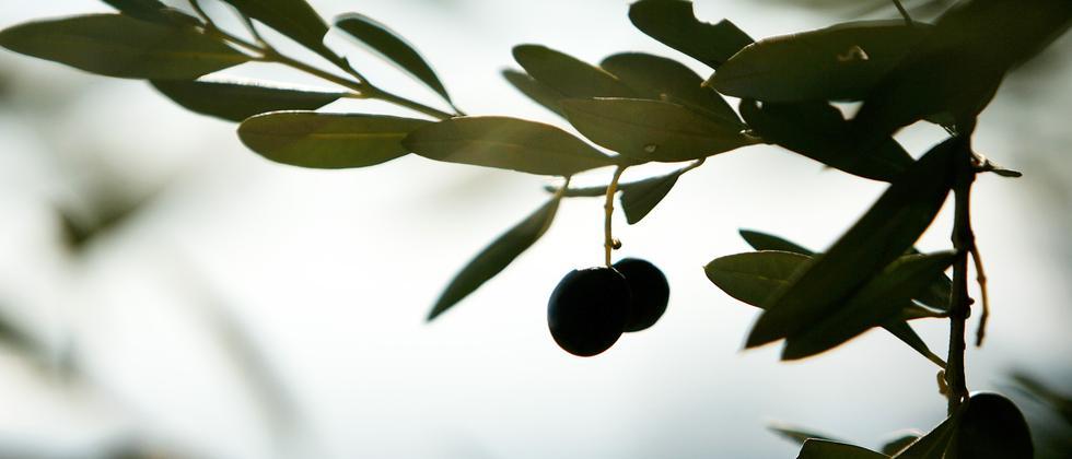 Olivenoel: Das Geheimnis des billigen Oels