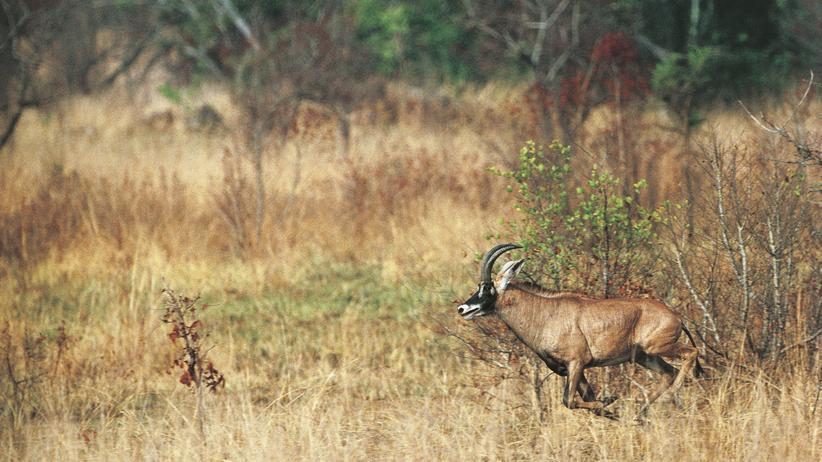 Antilope im Comoé-Nationalpark in der Elfenbeinküste