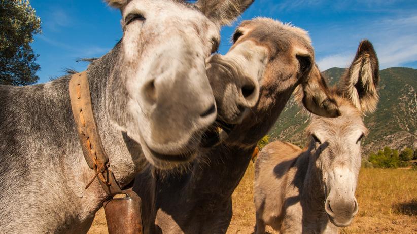 Esel: Wissen, Esel, Wildtiere, Nutztier, Landwirtschaft, Tierhaltung, Lausitz, Niedersachsen, Wallis