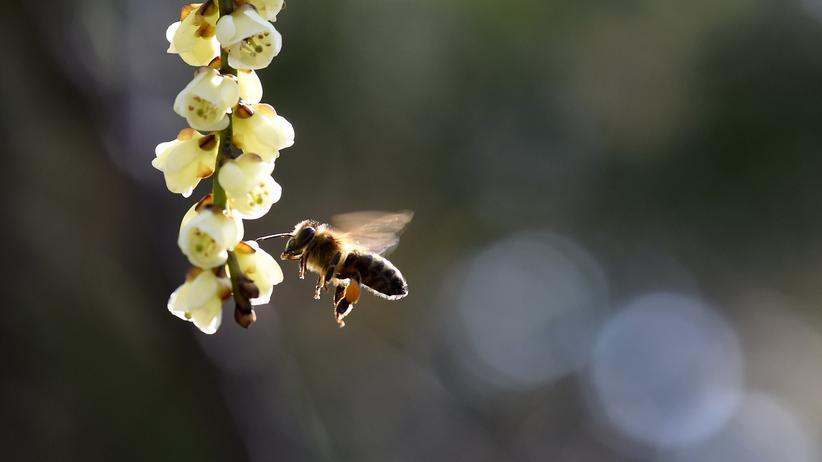 """Verhaltensbiologie: """"Bienen fallen nicht auf Hypes herein"""""""