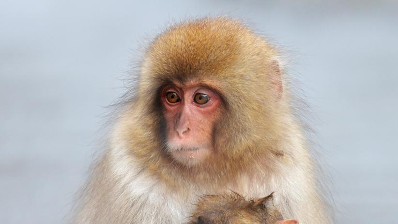 Tierversuche: Ein Makake: Mit dieser Art forschte der Tübinger Wissenschaftler Nikos Logothetis.