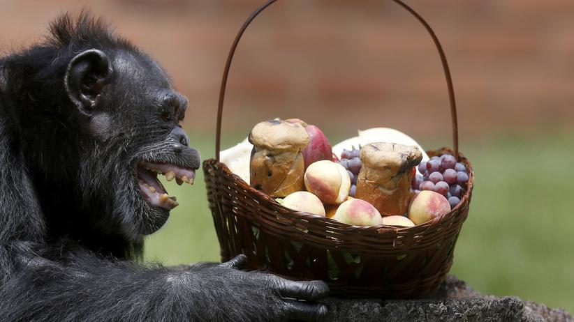 Verhaltensforschung: Ein Schimpanse und sein rohes Essen