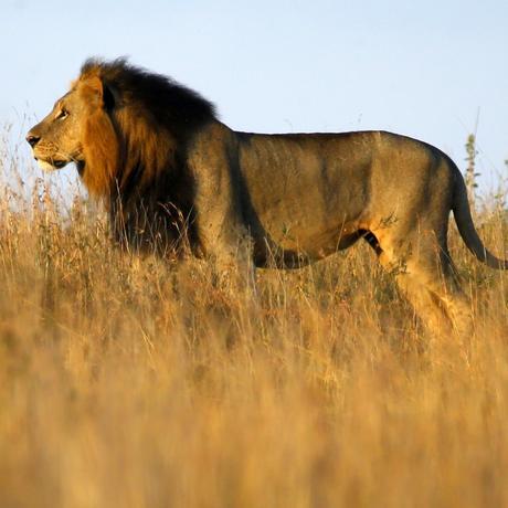 Großwildjagd: Der Löwenkopf ist inklusive