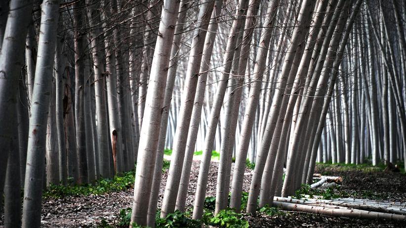 Wissen, Gentechnik, Holz, Pflanze, Schweden, Erbgut