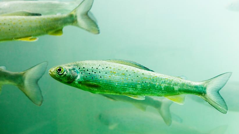 Umweltschutz: Zum Fischwohl kämpft Öko gegen Öko