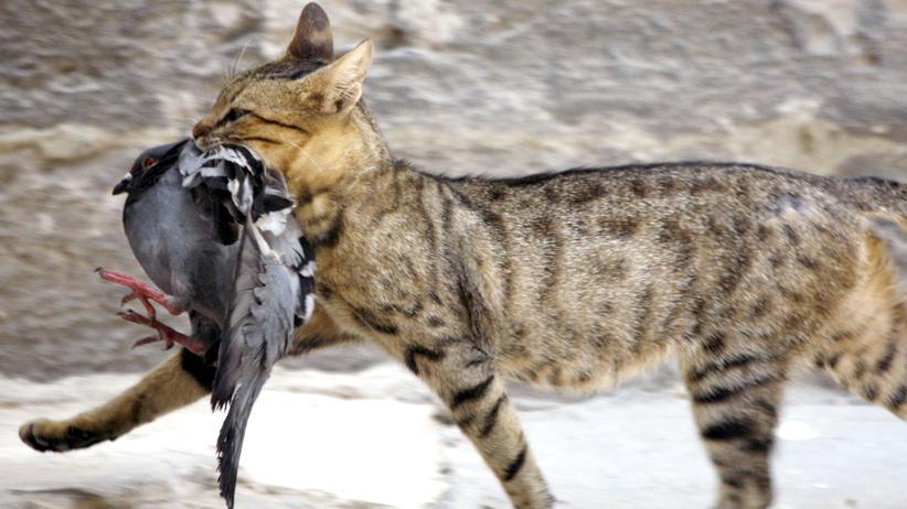 Australien: Eine streunende Katze hat eine Taube erbeutet.