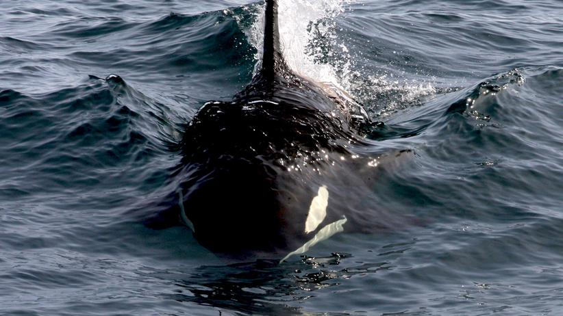 PCB-Schadstoffe: Auch Orcas sind durch die PCB bedroht.