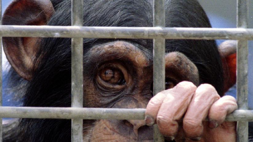 Tierschutz: Ein junger Schimpanse 1995 in einem Labor in Rijswijk.