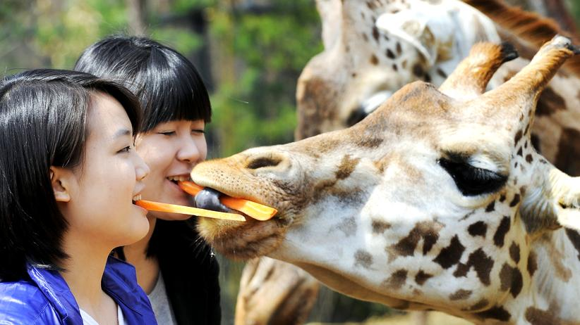 Tierschutz: Show-Fütterung in Südkorea: Zwei Frauen reichen Giraffen das Futter mit dem Mund.