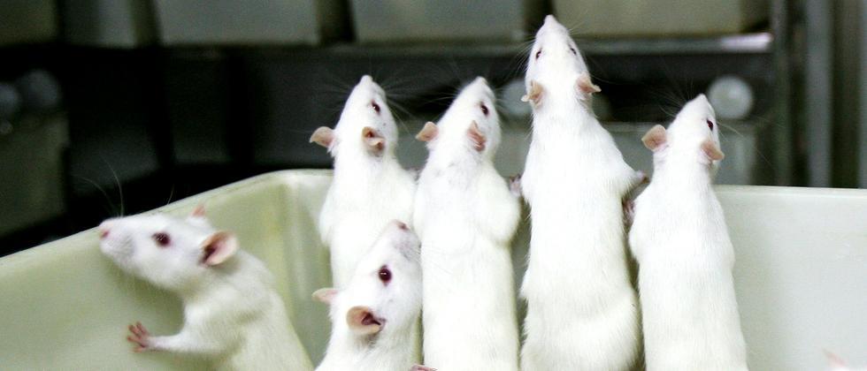 Tierversuche: Ersatz gesucht