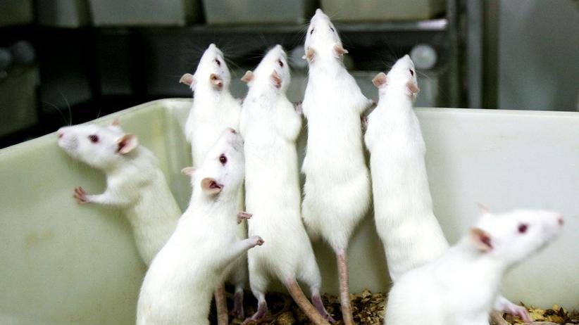 Tierversuche: Ratten in einem Labor in China, in dem allein mehr als 100.000 Nagetiere pro Jahr für Versuche gehalten und schließlich getötet werden.