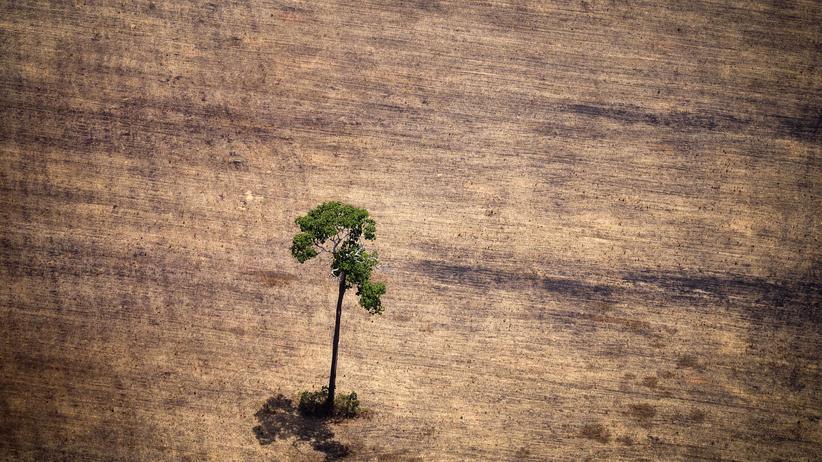 Amazonas: Ein Baum steht allein auf einer gerodeten Fläche im Amazonas-Regenwald.