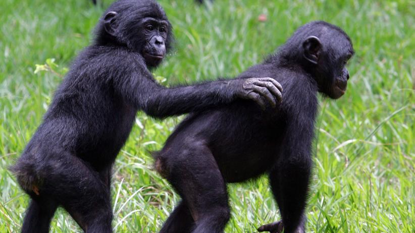 Bonobos und Schimpansen: Halb Primatenhippie, halb Haudraufaffe