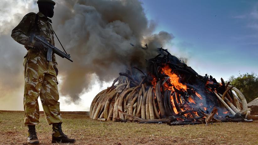 Kenia: Elf Scheiterhaufen, jeweils drei Meter hoch: Ein Wildhüter überwacht die Verbrennung der 105 Tonnen beschlagnahmter Stoßzähne.