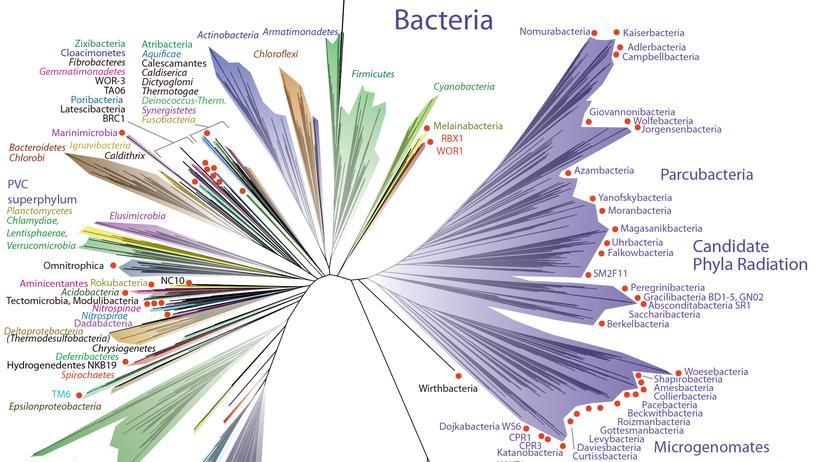 Stammbaum des Lebens: Bakterien, ihr habt es nach ganz oben geschafft!