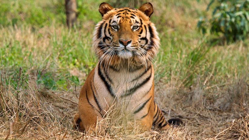 Artenschutz: Der Tigerbestand erholt sich