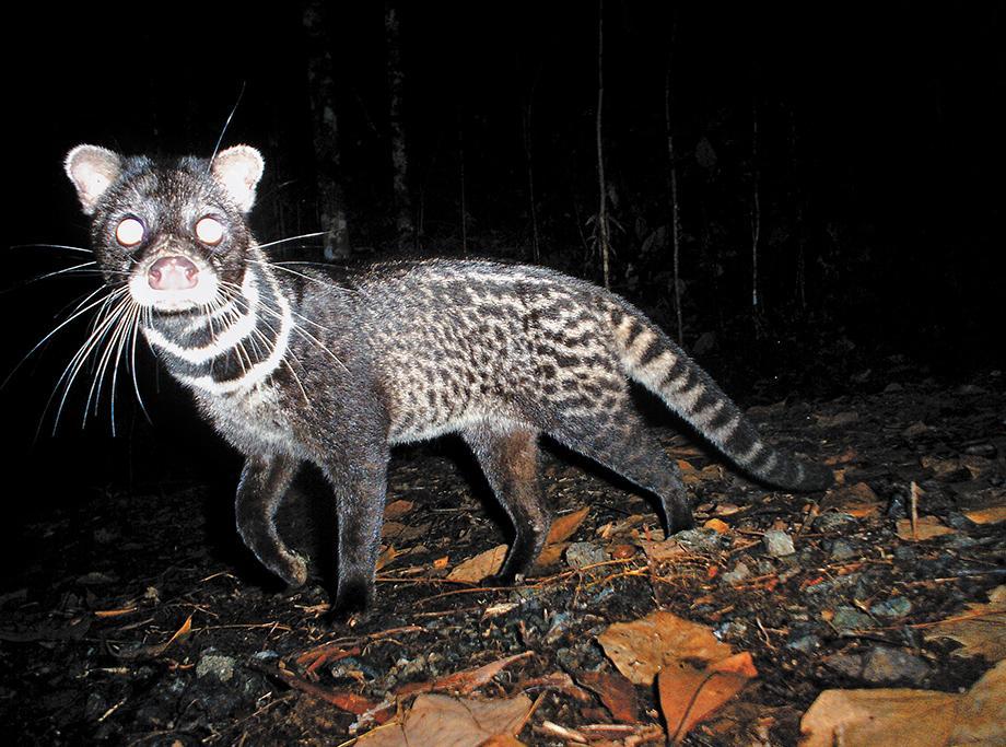 Borneo Goldkatze