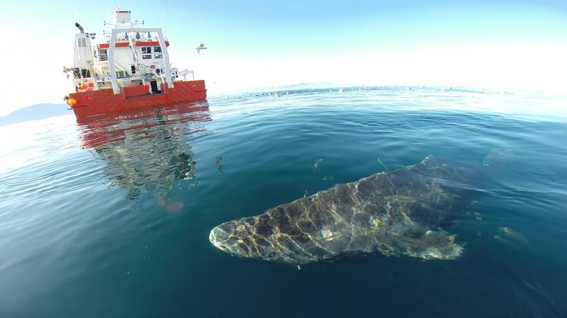 Eishai Grönlandhai Nordpolarmeer