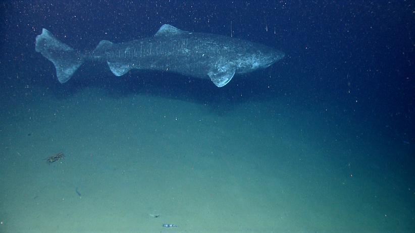 Eishaie können mehr als fünf Meter groß werden – wenn sie lange genug leben.