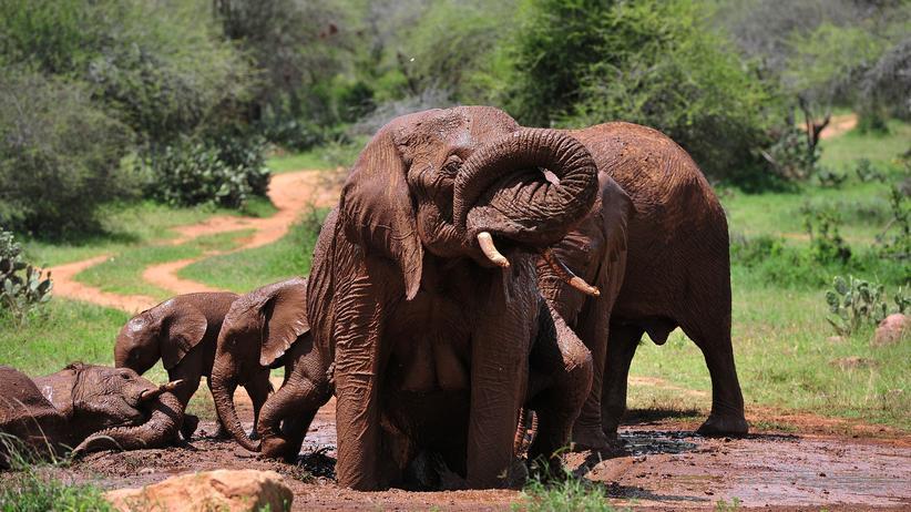 afrikanische, elefanten, ausrottung