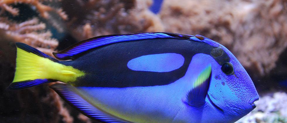 Findet Dori Paletten Doktorfisch Riff Salzwasser